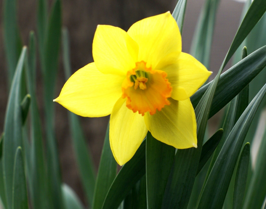 """4. Daffodils- To botanists, daffodils are known as narcissus. In England since they are connected to lent, they are known as the """"Lent Lilly."""" In Wales it is believed that if you see the first daffodil then the next 12 months will be full of wealth. Daffodils represent new beginnings."""
